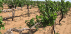 West Texas Vineyards Blasted By Herbicide Drift From Nearby Cotton Fields