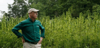 After Centuries, Hemp Makes A Comeback At George Washington's Home