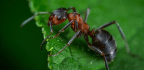 How Insulin Helped Create Ant Societies