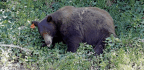 Bow Hunter Severely Mauled By Black Bear In California