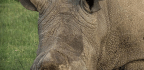 Can A Controversial In-vitro Fertilization Process Save The Northern White Rhino?