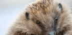 CRISPR's Hedgehog Problem