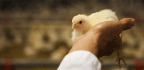The Future of Chicken, Without Antibiotics