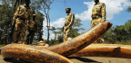DNA Tests Helps Conservationists Track Down Ivory Smugglers