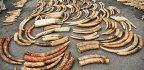 Elephant Tusk DNA Clues Lead To Ivory Poacher 'Hotspots'
