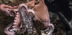Octopuses Trip On Ecstasy The Same Way We Do