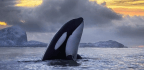 The Lingering Curse That's Killing Killer Whales