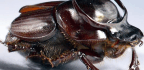 What a Beetle's Genital Worms Reveal About the Concept of Individuality