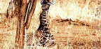 Baby Giraffes Get Their Spot Patterns From Mom