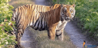 Nepal Roars With Pride To Become The First Country To Double Its Wild Tigers By 2022
