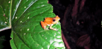 These Panamanian Frogs Coexist With A Deadly Fungus