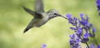 Some Hummingbirds Hit Notes So High, Only A Dog Could Hear Them