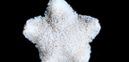 Extinct Starfish Gets 'Virtually Dissected' In 3D