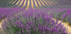 Lavender Might Actually Help You Relax