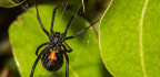 Black Widow Spiders Could Teach Nanomaterial Experts A Thing Or Two