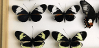 CRISPR Pinpoints Gene That Switches Butterfly Wing Color