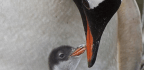 It's A Chick! Sydney's Same-Sex Penguin Couple Welcomes Baby