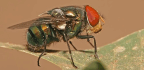 Blow Flies Help Us Solve Murders—but Climate Change Is Forcing Them Out