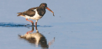 WILDLIFE WATCH Oystercatchers