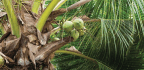 CRACKING THE Coconut Craze
