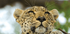 Protecting Africa's Big Cats