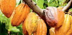Caring For Cacao