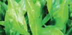 Spiky Herb