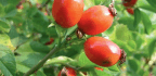 Rose Hip Rules