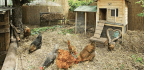 Poultry Power Play