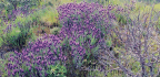 Plant Some Lavender