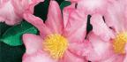 Grow Camellia Sasanqua