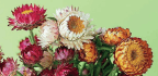 Flowers From Patch Helichrysum