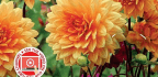 Cut Flowers From Your Patch Dahlias