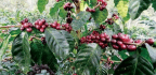 World Coffee Research Reveals New F1 Arabica Hybrid