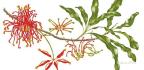 A Botanical Painting