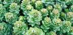 Rodiola (Rhodiola rosea)