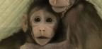 Nacen Los Primeros Monos Clonados