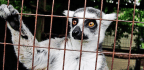 You Probably Shouldn't Share That Cute Lemur Video
