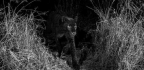 Rare African Black Leopard Captured By Camera Trap's Extraordinary Photos
