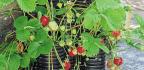 Make A Strawberry Tower