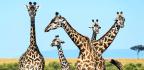 Life Near People Keeps Giraffes On The Move