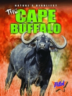 Cape Buffalo, The