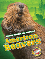American Beavers