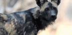THE WILD GUIDE Wild dog running…