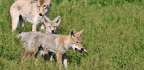 How Coyote Puppies Adjust To Life Around People