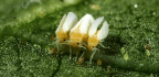 Pretty Sly For A Whitefly