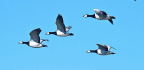 Like Geese, Cancer Cells Play Follow The Leader