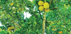 The Spread Of Breadfruit