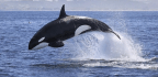7 Reasons Killer Whales Are Evil Geniuses