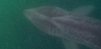 Basking Sharks Are Back On West Coast, And Researchers Fish For Answers